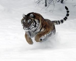 tiger-pounce